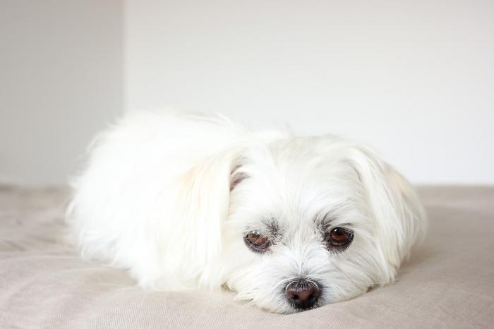 ピッコロはシニア犬の健康に良いって本当?3ヶ月あげてみた結果!